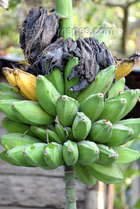 belize50: Belize - Cayo district:: bananas - platanos - photo by C.Palacio - (c) Travel-Images.com - Stock Photography agency - Image Bank