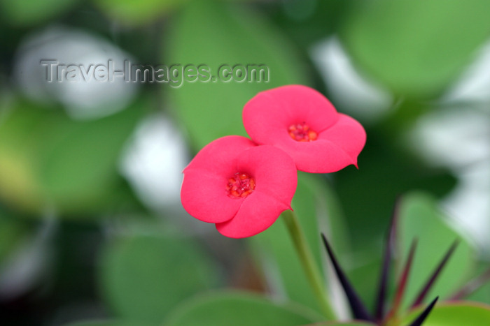 belize62: Belize - San Ignacio: twin red flowers - photo by C.Palacio - (c) Travel-Images.com - Stock Photography agency - Image Bank