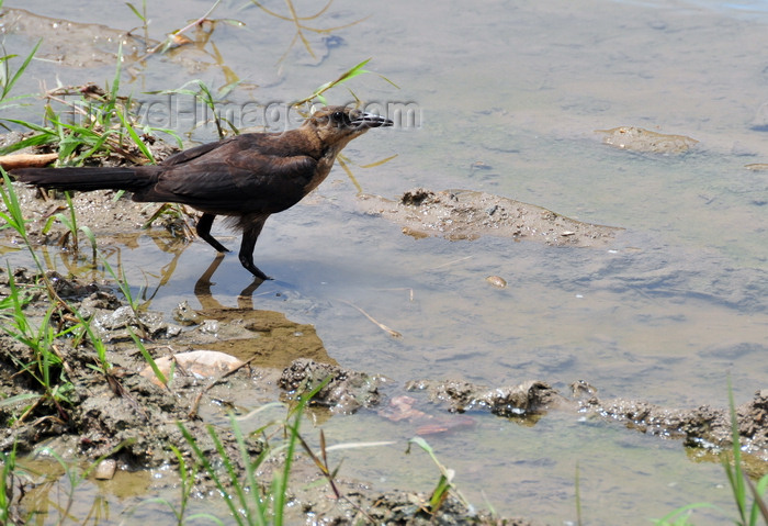 belize88: San Ignacio, Cayo, Belize: bird looking for food in the Macal River - photo by M.Torres - (c) Travel-Images.com - Stock Photography agency - Image Bank