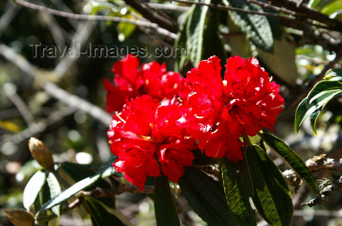 bhutan121: Bhutan - Paro dzongkhag - Red orchids, on the way to Taktshang Goemba - photo by A.Ferrari - (c) Travel-Images.com - Stock Photography agency - Image Bank