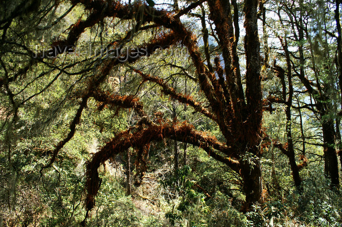 bhutan133: Bhutan - Paro dzongkhag - in the forest on the way to Taktshang Goemba - photo by A.Ferrari - (c) Travel-Images.com - Stock Photography agency - Image Bank