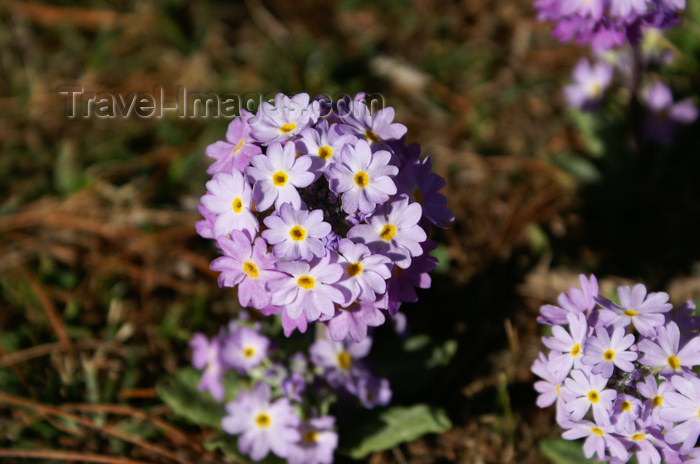 bhutan165: Bhutan - Primulas, on the way to Chele la - photo by A.Ferrari - (c) Travel-Images.com - Stock Photography agency - Image Bank