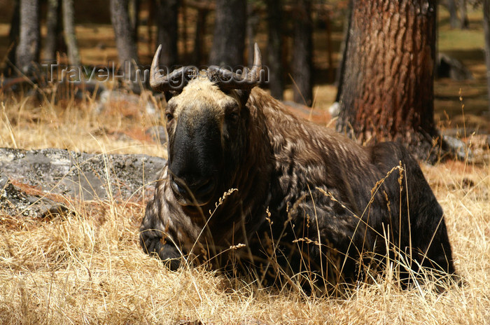 bhutan197: Bhutan - a takin rests - Budorcas taxicolor whitei, near Thimphu - photo by A.Ferrari - (c) Travel-Images.com - Stock Photography agency - Image Bank