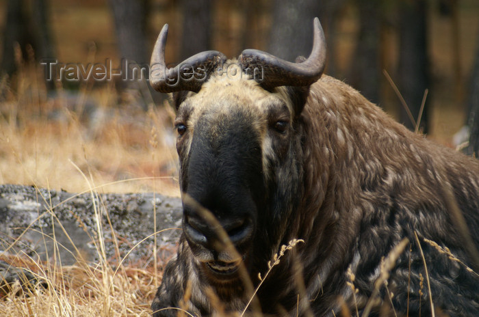 bhutan198: Bhutan - a Bhutan takin - Budorcas taxicolor whitei - a goat-antelope , Bhutan's national animal, near Thimphu - photo by A.Ferrari - (c) Travel-Images.com - Stock Photography agency - Image Bank