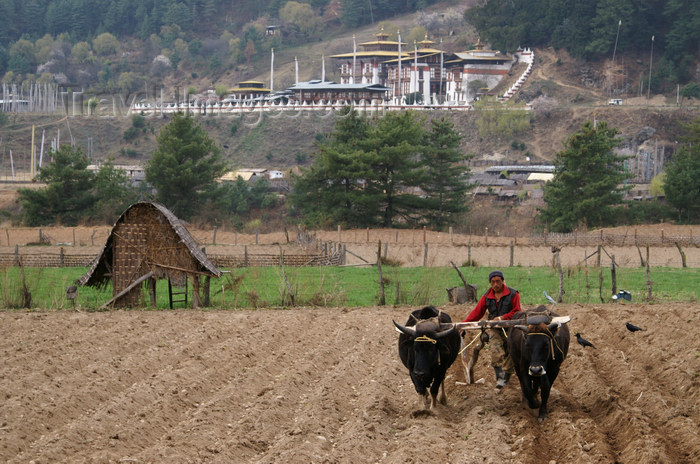 bhutan20: Bhutan - Bumthang valley - agriculture - working in the fields, outside Kurjey Lhakhang - photo by A.Ferrari - (c) Travel-Images.com - Stock Photography agency - Image Bank