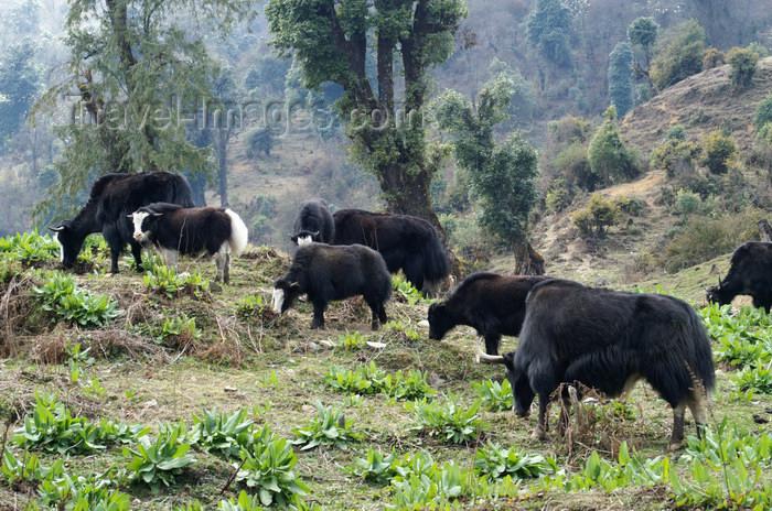 bhutan250: Bhutan - Yaks grazing, near Dochu La pass - photo by A.Ferrari - (c) Travel-Images.com - Stock Photography agency - Image Bank