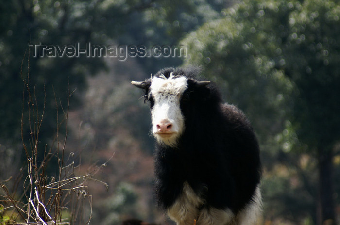 bhutan252: Bhutan - Young Yak, near Dochu La pass - photo by A.Ferrari - (c) Travel-Images.com - Stock Photography agency - Image Bank