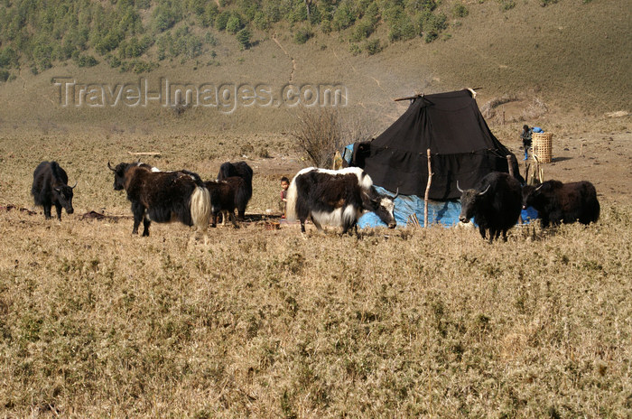 bhutan299: Bhutan - Yaks and tent - Phobjikha valley - photo by A.Ferrari - (c) Travel-Images.com - Stock Photography agency - Image Bank