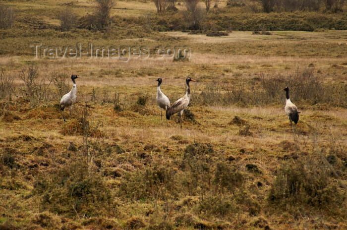 bhutan301: Bhutan - Black-necked cranes - Phobjikha valley - photo by A.Ferrari - (c) Travel-Images.com - Stock Photography agency - Image Bank