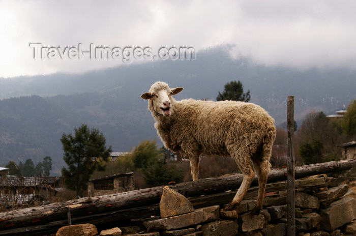 bhutan374: Bhutan - Shingkhar, Zhemgang District - Sheep - photo by A.Ferrari - (c) Travel-Images.com - Stock Photography agency - Image Bank