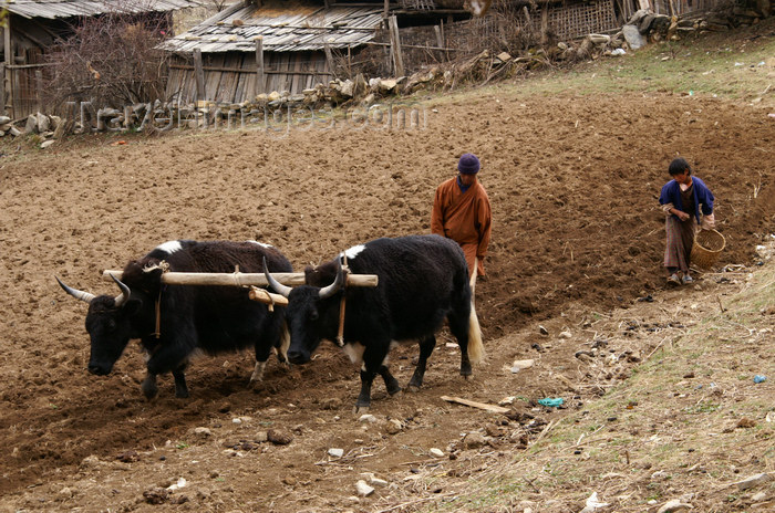 bhutan398: Bhutan - Ura village - Working in the fields - agriculture - photo by A.Ferrari - (c) Travel-Images.com - Stock Photography agency - Image Bank