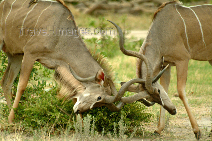 botswana12: Okavango delta, North-West District, Botswana: Greater Kudus clash their spiral horns - antelope playing -Tragelaphus strepsiceros - photo by J.Banks - (c) Travel-Images.com - Stock Photography agency - Image Bank