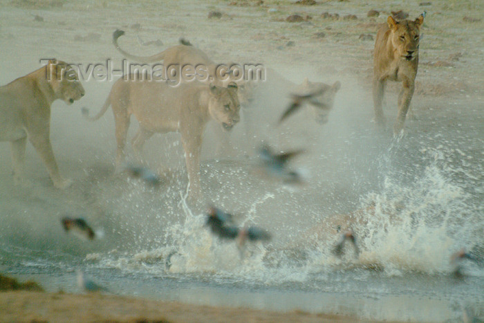 botswana20: Chobe National Park, North-West District, Botswana: lions - action at a water hole - photo by J.Banks - (c) Travel-Images.com - Stock Photography agency - Image Bank