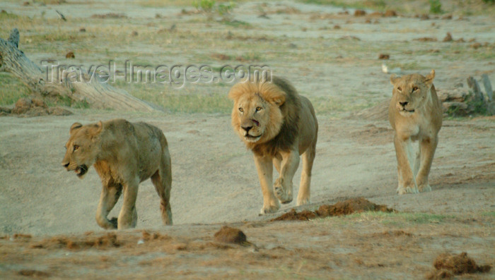 botswana22: Chobe National Park, North-West District, Botswana: lions guarding their territory - photo by J.Banks - (c) Travel-Images.com - Stock Photography agency - Image Bank
