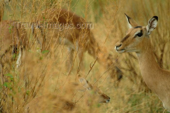 botswana24: Okavango delta, North-West District, Botswana: impalas grazing - Aepyceros melampus - photo by J.Banks - (c) Travel-Images.com - Stock Photography agency - Image Bank