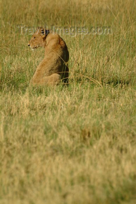 botswana25: Chobe National Park, North-West District, Botswana: lioness keeping watch over the grassland - photo by J.Banks - (c) Travel-Images.com - Stock Photography agency - Image Bank