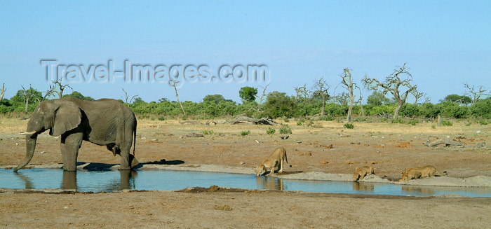 botswana27: Chobe National Park, North-West District, Botswana: living together - elephant and lions share drinking water - pump pan - photo by J.Banks - (c) Travel-Images.com - Stock Photography agency - Image Bank