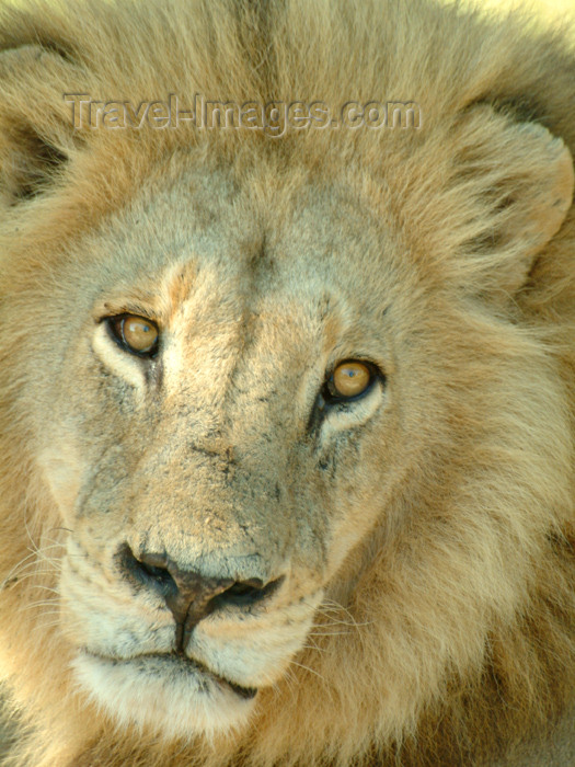 botswana29: Okavango delta, North-West District, Botswana: lion - close up - Panthera leo- photo by J.Banks - (c) Travel-Images.com - Stock Photography agency - Image Bank