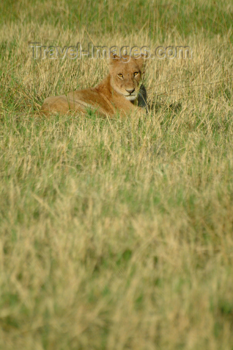 botswana33: Chobe National Park, North-West District, Botswana: lioness relaxing and watching - photo by J.Banks - (c) Travel-Images.com - Stock Photography agency - Image Bank