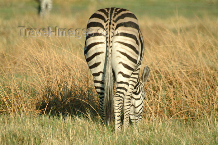 botswana36: Okavango delta, North-West District, Botswana: zebra grazing - rear end - photo by J.Banks - (c) Travel-Images.com - Stock Photography agency - Image Bank