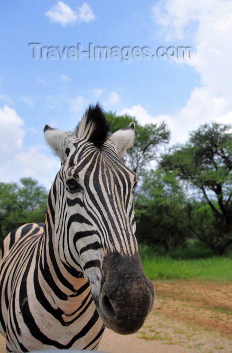 botswana5: Gaborone Game Reserve, South-East District, Botswana: Burchell's Zebra - Plains Zebra - Common Zebra, Equus quagga burchellii - head view - ungulate - photo by M.Torres - (c) Travel-Images.com - Stock Photography agency - Image Bank