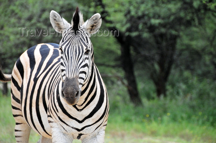 botswana58: Gaborone Game Reserve, South-East District, Botswana: Burchell's Zebra, Equus quagga burchellii - the national animal of Botswana - photo by M.Torres - (c) Travel-Images.com - Stock Photography agency - Image Bank