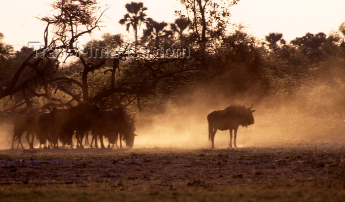 botswana59: Okavango delta, North-West District, Botswana: common wildebeests kick up dust - Connochaetes Taurinus - Brindled Gnu - photo by C.Lovell - (c) Travel-Images.com - Stock Photography agency - Image Bank