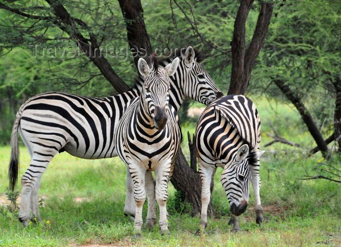 botswana6: Gaborone Game Reserve, South-East District, Botswana: Burchell's Zebra, Equus quagga burchellii - stallion and two mares under a tree - photo by M.Torres - (c) Travel-Images.com - Stock Photography agency - Image Bank