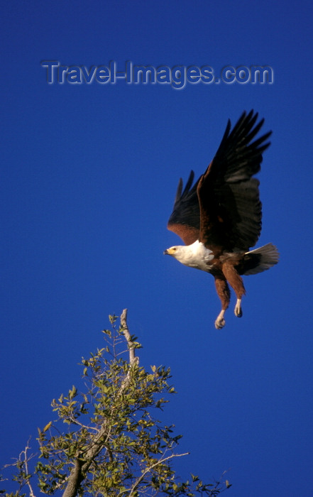 botswana62: Okavango delta, North-West District, Botswana: African Fish Eagle alights on a branch - Haliaeetus vocifer - photo by C.Lovell - (c) Travel-Images.com - Stock Photography agency - Image Bank