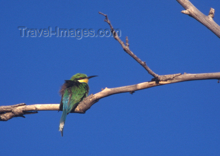 botswana63: Okavango delta, North-West District, Botswana: a Little Bee-eater ruffles its feathers to dry off - Merops pusillus - near passerine bird - photo by C.Lovell - (c) Travel-Images.com - Stock Photography agency - Image Bank