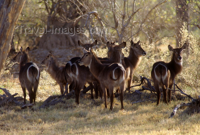 botswana64: Okavango delta, North-West District, Botswana: a female herd of Waterbuck with their distinctive rump markings - Kobus Ellipsiprymnus - does - photo by C.Lovell - (c) Travel-Images.com - Stock Photography agency - Image Bank