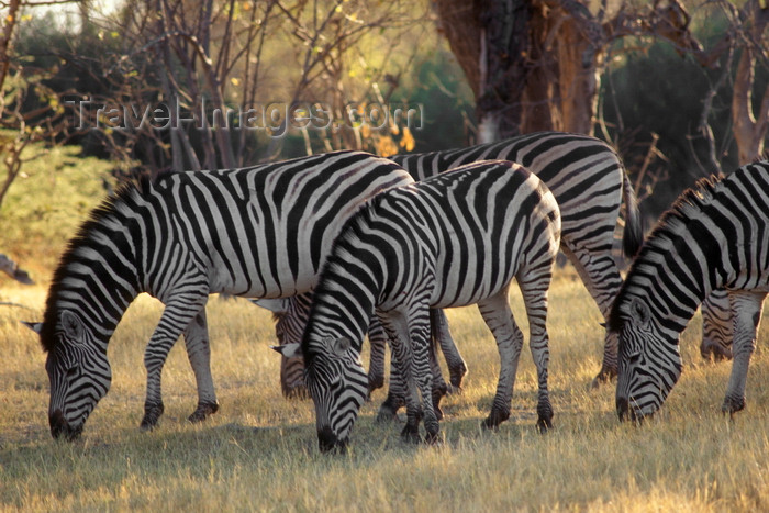 botswana65: Okavango delta, North-West District, Botswana: a herd of Burchell's Zebra - dazzle - photo by C.Lovell - (c) Travel-Images.com - Stock Photography agency - Image Bank