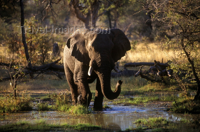 botswana66: Okavango delta, North-West District, Botswana: an African Elephant walking across a marsh - Loxodanta Africana - photo by C.Lovell - (c) Travel-Images.com - Stock Photography agency - Image Bank
