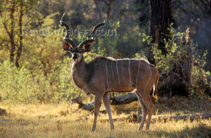 botswana68: Okavango delta, North-West District, Botswana: a Greater Kudu bull backlit by the afternoon sun - Tragelaphus Strepsiceros - photo by C.Lovell - (c) Travel-Images.com - Stock Photography agency - Image Bank