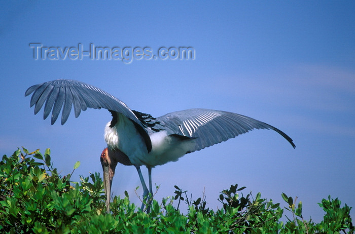 botswana69: Okavango delta, North-West District, Botswana: a Marabou Stork nests along the Khwai River - Leptoptilos Crumeniferus - photo by C.Lovell - (c) Travel-Images.com - Stock Photography agency - Image Bank