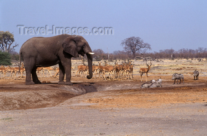 botswana75: Chobe National Park, North-West District, Botswana: Warthogs and Impalas impatiently wait for an elephant to finish drinking in the Savuti Marsh - photo by C.Lovell - (c) Travel-Images.com - Stock Photography agency - Image Bank