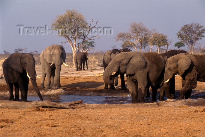 botswana81: Chobe National Park, North-West District, Botswana: a herd of bull elephants around a watering hole in the Savuti Marsh - photo by C.Lovell - (c) Travel-Images.com - Stock Photography agency - Image Bank