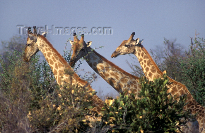 botswana84: Chobe National Park, North-West District, Botswana: group of Southern Giraffes, necks above the trees - Giraffa Camelopardalis - Savuti Marsh - photo by C.Lovell - (c) Travel-Images.com - Stock Photography agency - Image Bank