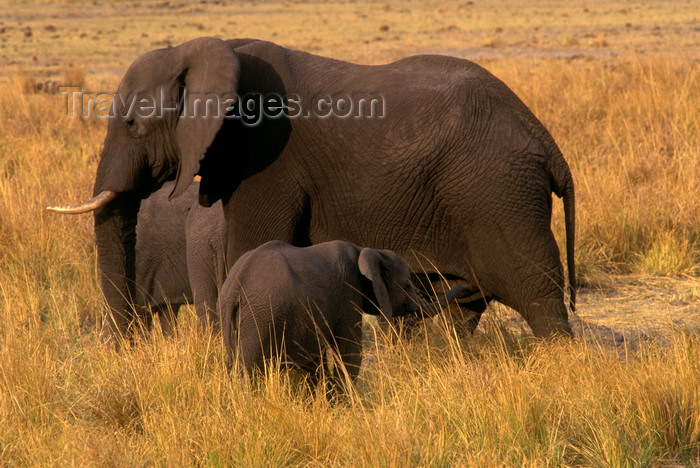 botswana85: Chobe National Park, North-West District, Botswana: African Elephants are social animals and have a matriarchal society- calf and cow - Loxodaonta Africana - Savuti Marsh - photo by C.Lovell - (c) Travel-Images.com - Stock Photography agency - Image Bank