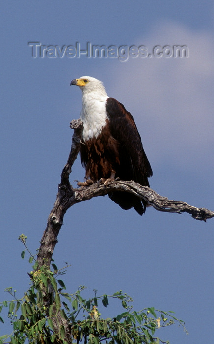 botswana86: Chobe National Park, North-West District, Botswana: African Fish Eagle perched in a tree, surveying the horizon - Haliaeetus vocifer - photo by C.Lovell - (c) Travel-Images.com - Stock Photography agency - Image Bank