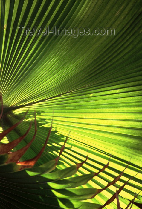 brazil109: Brazil / Brasil - Maceió (Alagoas): palm leaf / folha de palmeira - photo by F.Rigaud - (c) Travel-Images.com - Stock Photography agency - Image Bank