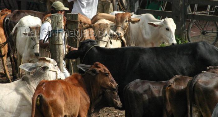 brazil164: Brazil / Brasil - Cachoeira (Bahia): cows / vacas / gado / ganado - photo by N.Cabana - (c) Travel-Images.com - Stock Photography agency - Image Bank