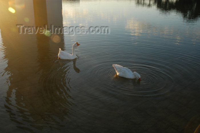 brazil360: Brazil / Brasil - Brasilia: duck on the Congress pond / patos - Congresso - photo by M.Alves - (c) Travel-Images.com - Stock Photography agency - Image Bank