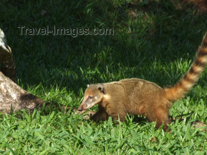 brazil399: Brazil / Brasil - Foz do Iguaçu (Parana): Ring-tailed coati - Coatimundi - hog-nosed coon - Nasua nasua - Parque Nacional do Iguaçu - Unesco world heritage site - photo by M.Bergsma - (c) Travel-Images.com - Stock Photography agency - Image Bank