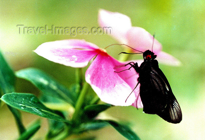 brazil403: Brazil / Brasil - black moth on a flower / mariposa negra pousada numa flor - insecto - fauna - photo by L.Moraes - (c) Travel-Images.com - Stock Photography agency - Image Bank