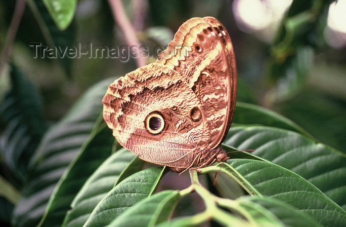 brazil404: Brazil / Brasil - butterfly on a tree branch / borboleta negra pousada num galho - insecto - fauna - photo by L.Moraes - (c) Travel-Images.com - Stock Photography agency - Image Bank