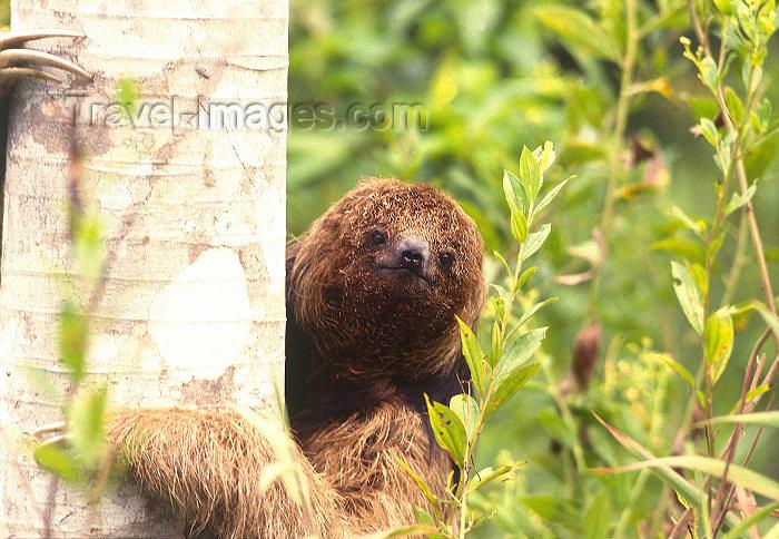 brazil405: Brazil / Brasil - sloth holding a trunk / preguiça agarrada a um tronco - mammal - fauna - photo by L.Moraes - (c) Travel-Images.com - Stock Photography agency - Image Bank