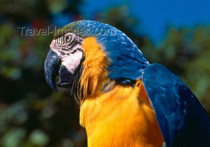 brazil407: Brazil / Brasil - Amazonas - Blue-and-gold Macaw - Ara ararauna - Arara-de-barriga-amarela - canindé - bird - fauna - photo by L.Moraes - (c) Travel-Images.com - Stock Photography agency - Image Bank