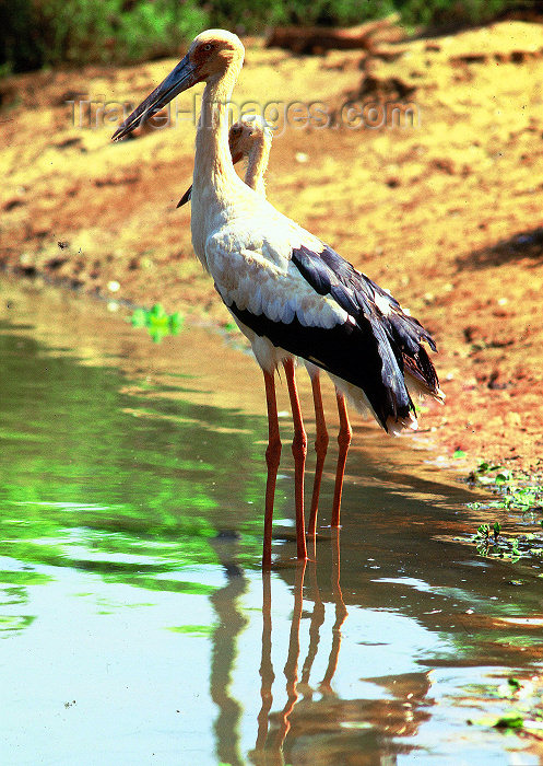 brazil409: Brazil / Brasil - Amazonas - Brazilian stork - Mycteria americana - wood stork - cegonha - bird - fauna - photo by L.Moraes - (c) Travel-Images.com - Stock Photography agency - Image Bank