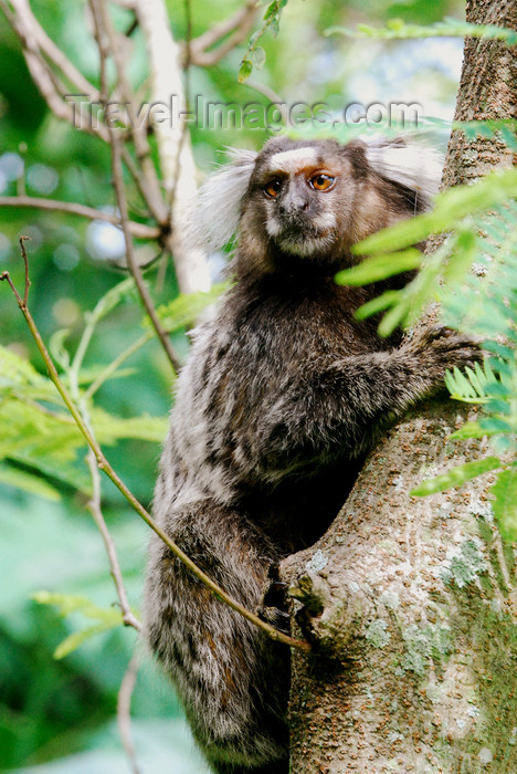 brazil412: Atlantic Forest, RJ, Brazil: Black-tufted Marmoset on a tree - Callithrix penicillata | Mico-estrela numa árvore - photo by L.Moraes - (c) Travel-Images.com - Stock Photography agency - Image Bank